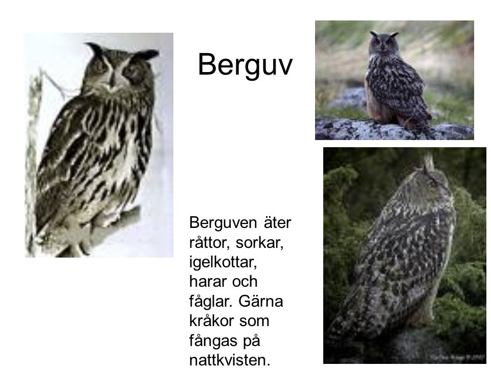 Berguv Berguven äter råttor, sorkar, igelkottar, harar och fåglar.