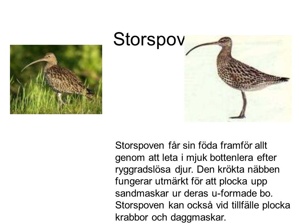 Storspov Storspoven får sin föda framför allt genom att leta i mjuk bottenlera efter ryggradslösa djur.