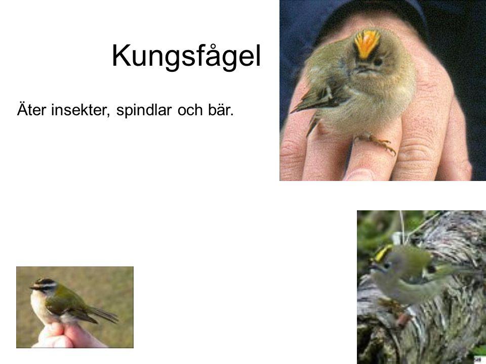 Kungsfågel Äter insekter, spindlar och bär.