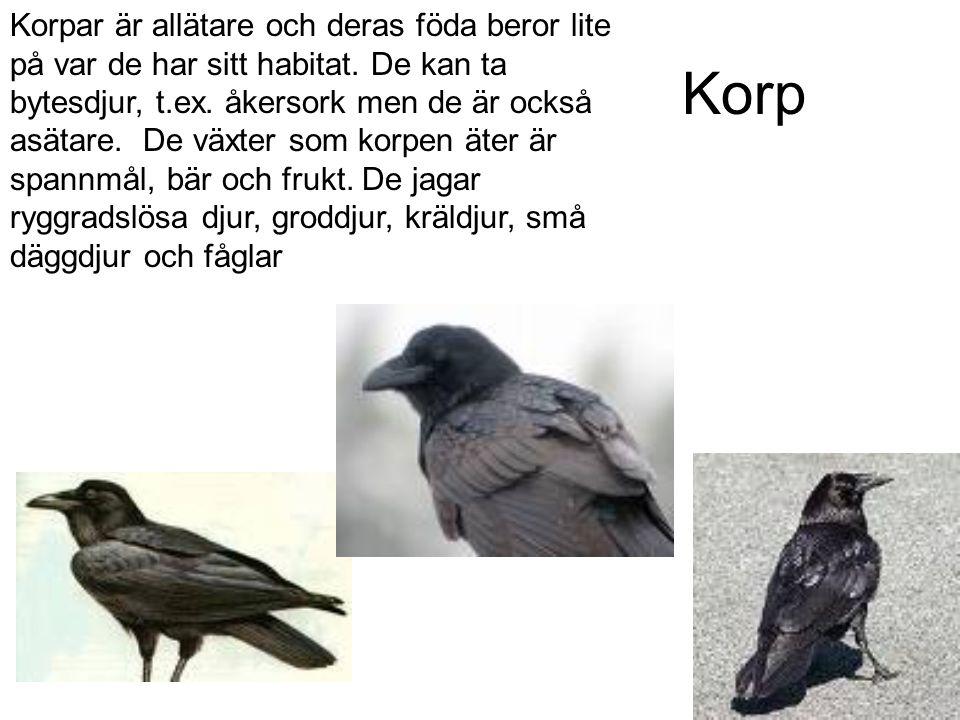 Korp Korpar är allätare och deras föda beror lite på var de har sitt habitat.