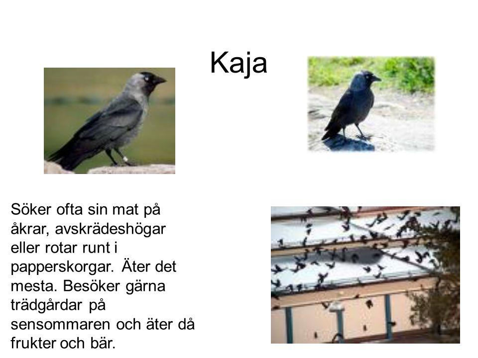 Kaja Söker ofta sin mat på åkrar, avskrädeshögar eller rotar runt i papperskorgar.