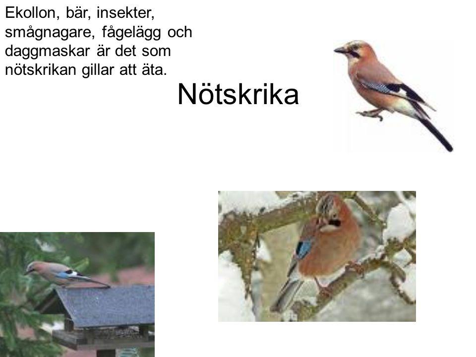 Nötskrika Ekollon, bär, insekter, smågnagare, fågelägg och daggmaskar är det som nötskrikan gillar att äta.