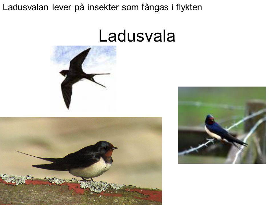 Ladusvala Ladusvalan lever på insekter som fångas i flykten