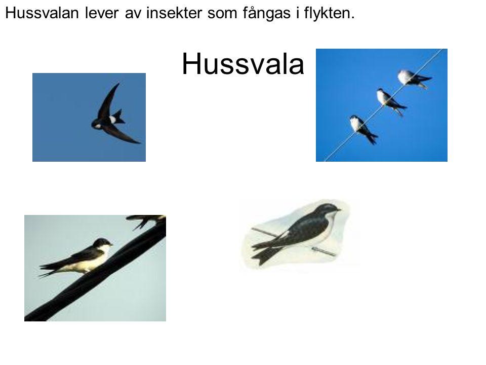 Hussvala Hussvalan lever av insekter som fångas i flykten.