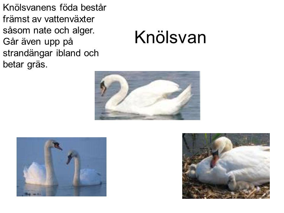 Knölsvan Knölsvanens föda består främst av vattenväxter såsom nate och alger.
