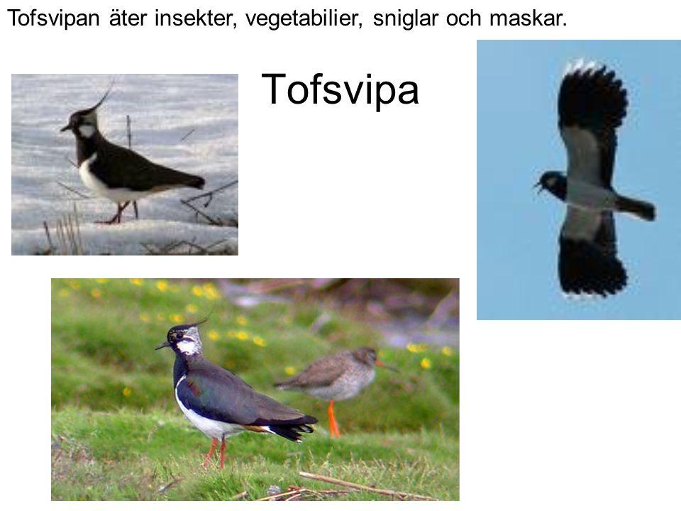 Tofsvipa Tofsvipan äter insekter, vegetabilier, sniglar och maskar.