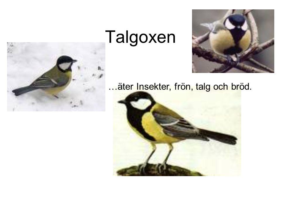 Talgoxen …äter Insekter, frön, talg och bröd.
