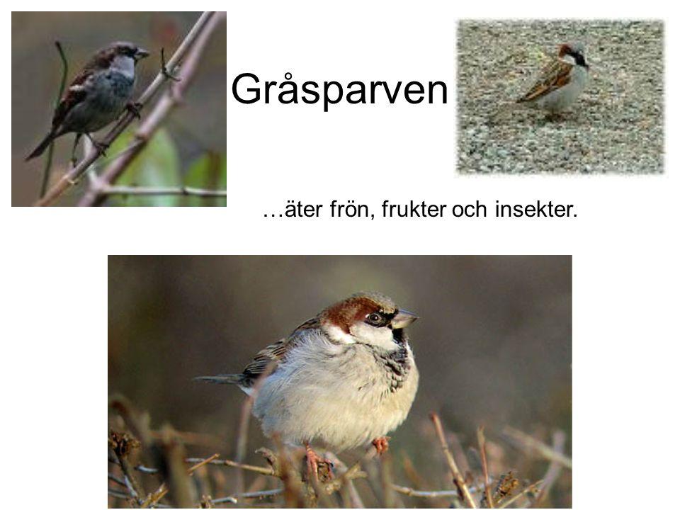 Sparvhök Lever i huvudsak av småfåglar men kan även ta så stora fåglar som duvor och nötskrikor