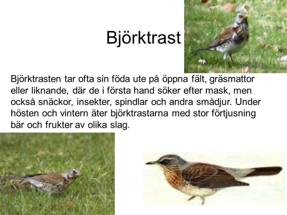 Blåmes Blåmes en äter insekter, larver och puppor.