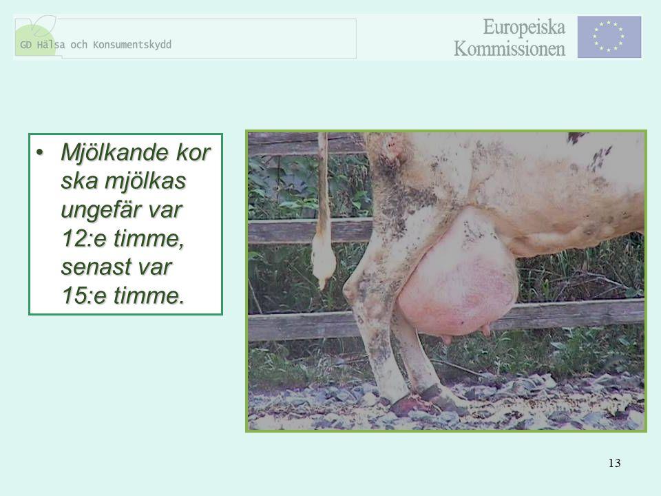 13 Mjölkande kor ska mjölkas ungefär var 12:e timme, senast var 15:e timme.Mjölkande kor ska mjölkas ungefär var 12:e timme, senast var 15:e timme.