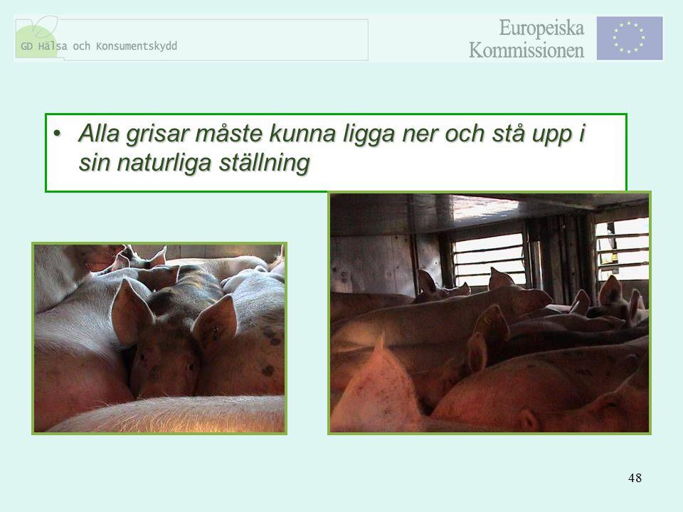 48 Alla grisar måste kunna ligga ner och stå upp i sin naturliga ställningAlla grisar måste kunna ligga ner och stå upp i sin naturliga ställning