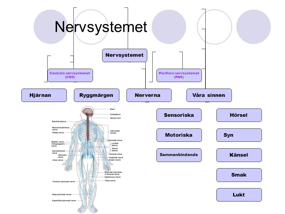 Nervsystemet Centrala nervsystemet (CNS) Perifiera nervsystemet (PNS) HjärnanRyggmärgenNerverna Sensoriska Motoriska Våra sinnen Hörsel Syn Känsel Sma