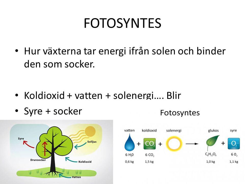 FOTOSYNTES Hur växterna tar energi ifrån solen och binder den som socker. Koldioxid + vatten + solenergi…. Blir Syre + socker
