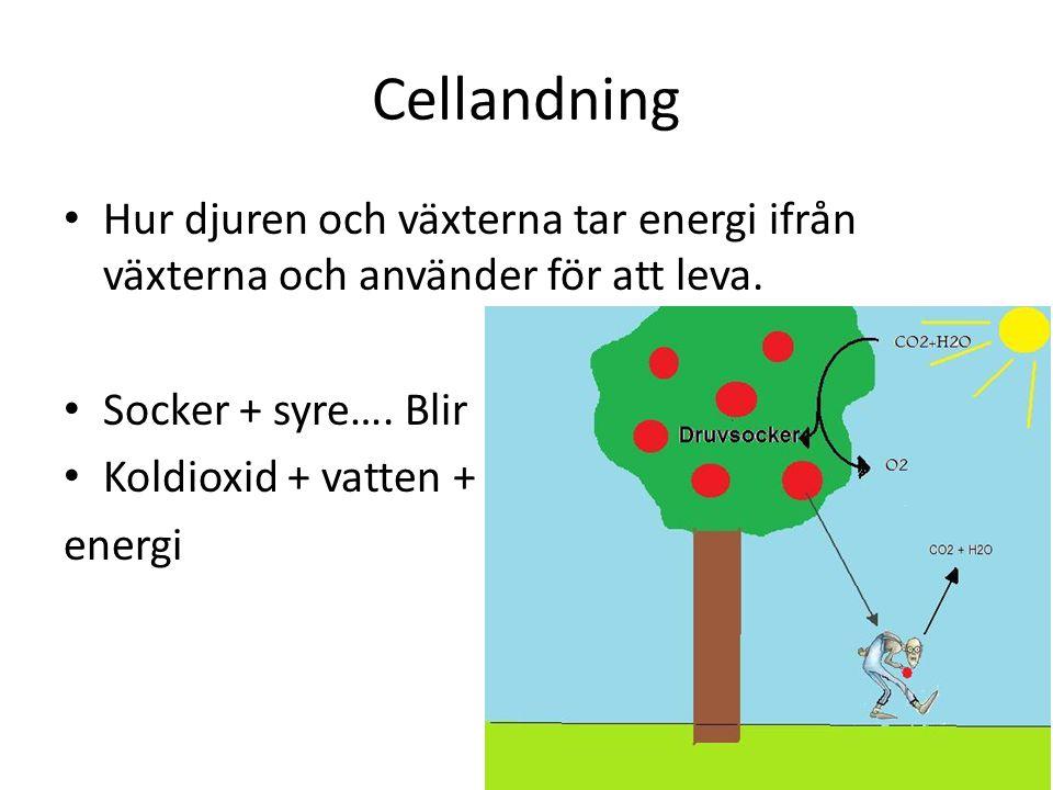 Cellandning Hur djuren och växterna tar energi ifrån växterna och använder för att leva. Socker + syre…. Blir Koldioxid + vatten + energi