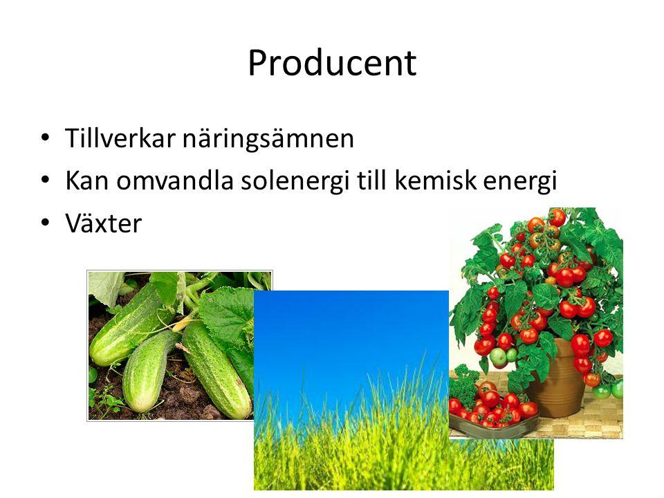 Producent Tillverkar näringsämnen Kan omvandla solenergi till kemisk energi Växter