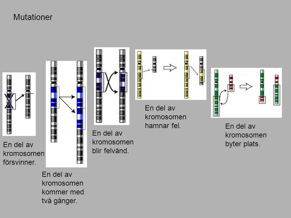Mutationer En del av kromosomen försvinner.En del av kromosomen kommer med två gånger.