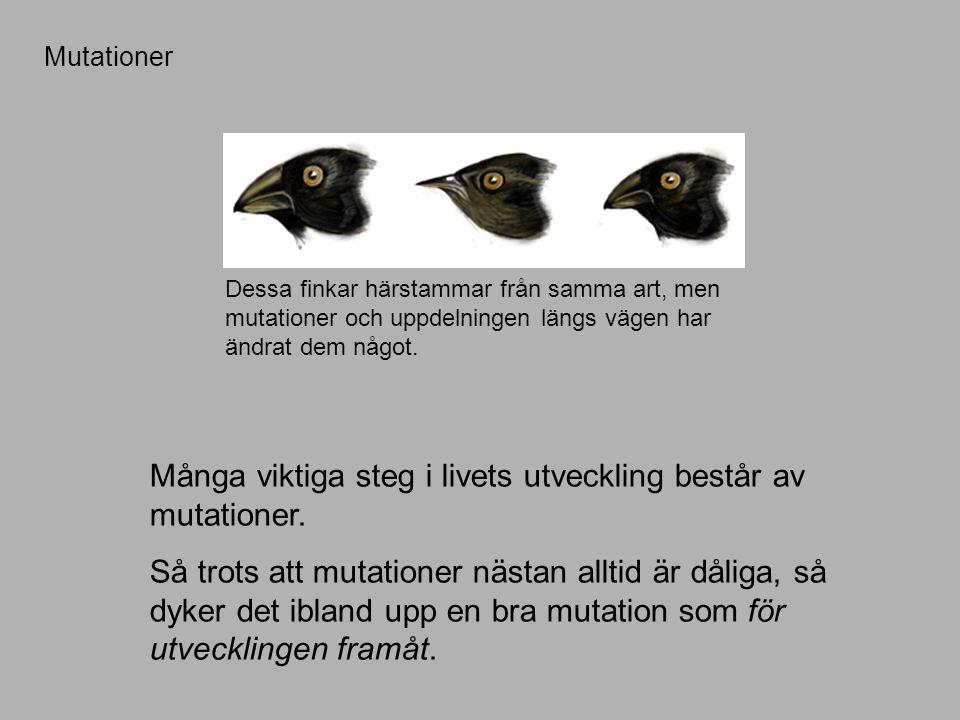 Mutationer Många viktiga steg i livets utveckling består av mutationer.