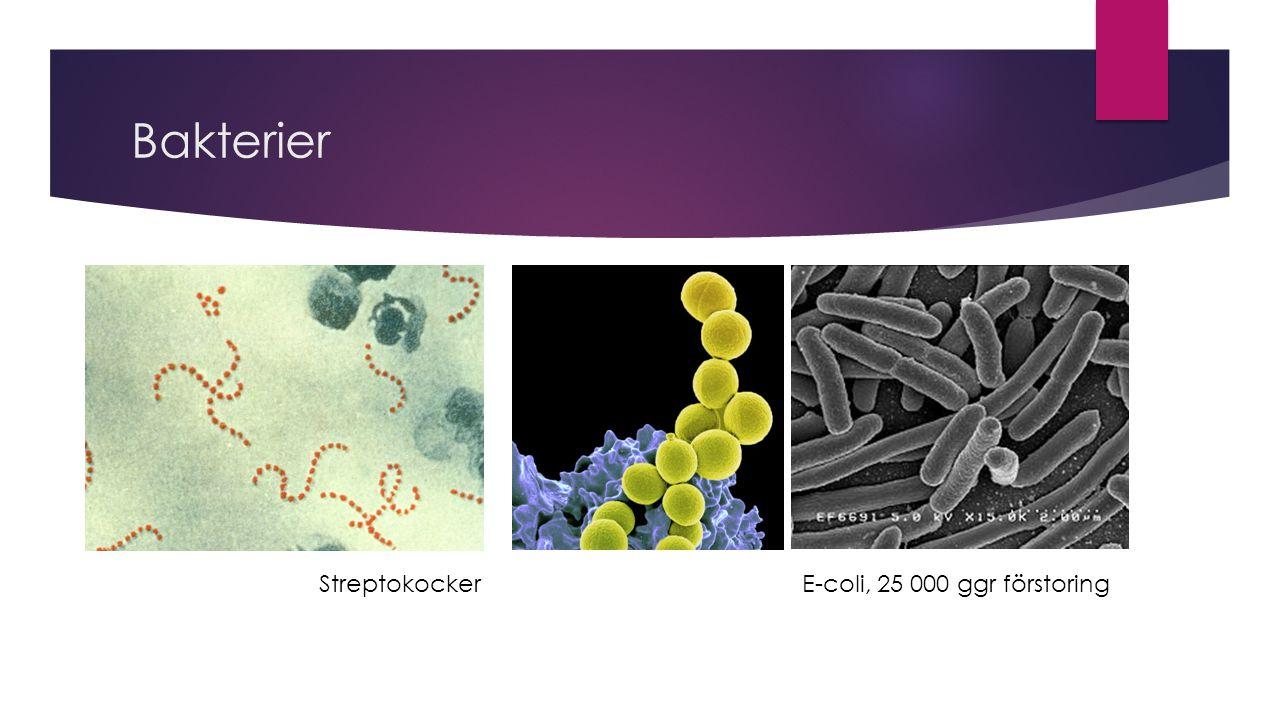 Bakterier StreptokockerE-coli, 25 000 ggr förstoring
