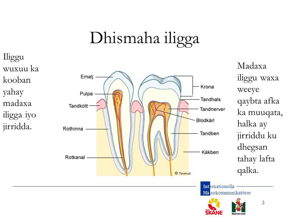 Internationella Hälsokommunikatörer 3 Dhismaha iligga Iliggu wuxuu ka kooban yahay madaxa iligga iyo jirridda. Madaxa iliggu waxa weeye qaybta afka ka