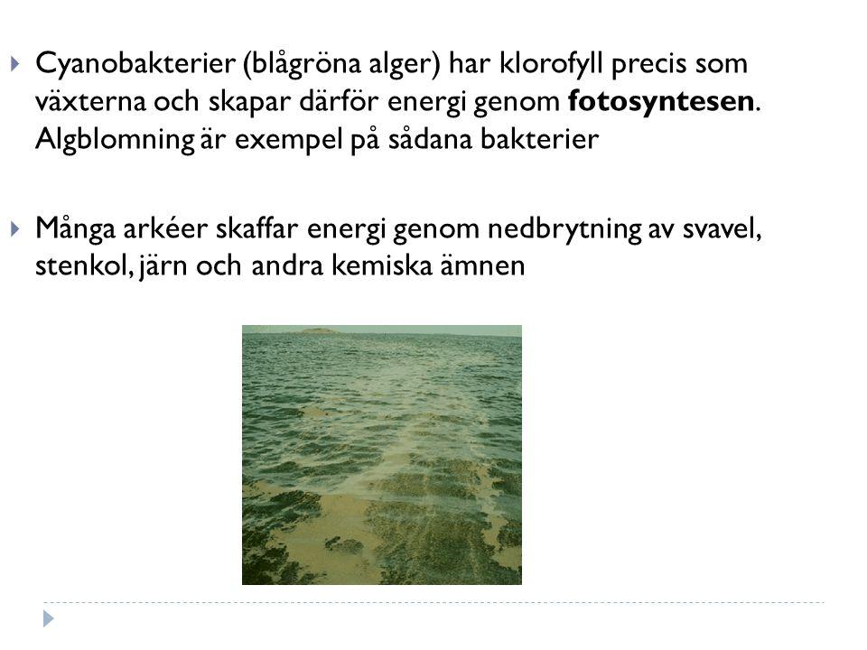  Cyanobakterier (blågröna alger) har klorofyll precis som växterna och skapar därför energi genom fotosyntesen. Algblomning är exempel på sådana bakt