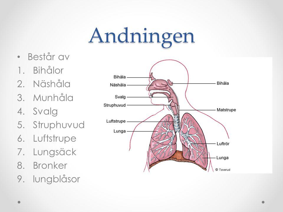 Andningen Består av 1.Bihålor 2.Näshåla 3.Munhåla 4.Svalg 5.Struphuvud 6.Luftstrupe 7.Lungsäck 8.Bronker 9.lungblåsor