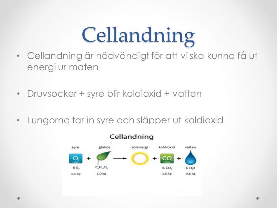 Cellandning Cellandning är nödvändigt för att vi ska kunna få ut energi ur maten Druvsocker + syre blir koldioxid + vatten Lungorna tar in syre och släpper ut koldioxid
