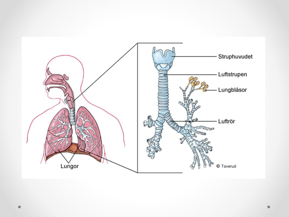 Lungorna Volym på 3-7 liter Lungorna sitter fast i bröstkorg och mellangärdet.