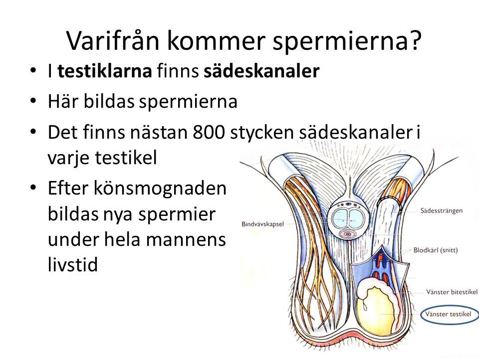 Varifrån kommer spermierna? I testiklarna finns sädeskanaler Här bildas spermierna Det finns nästan 800 stycken sädeskanaler i varje testikel Efter kö