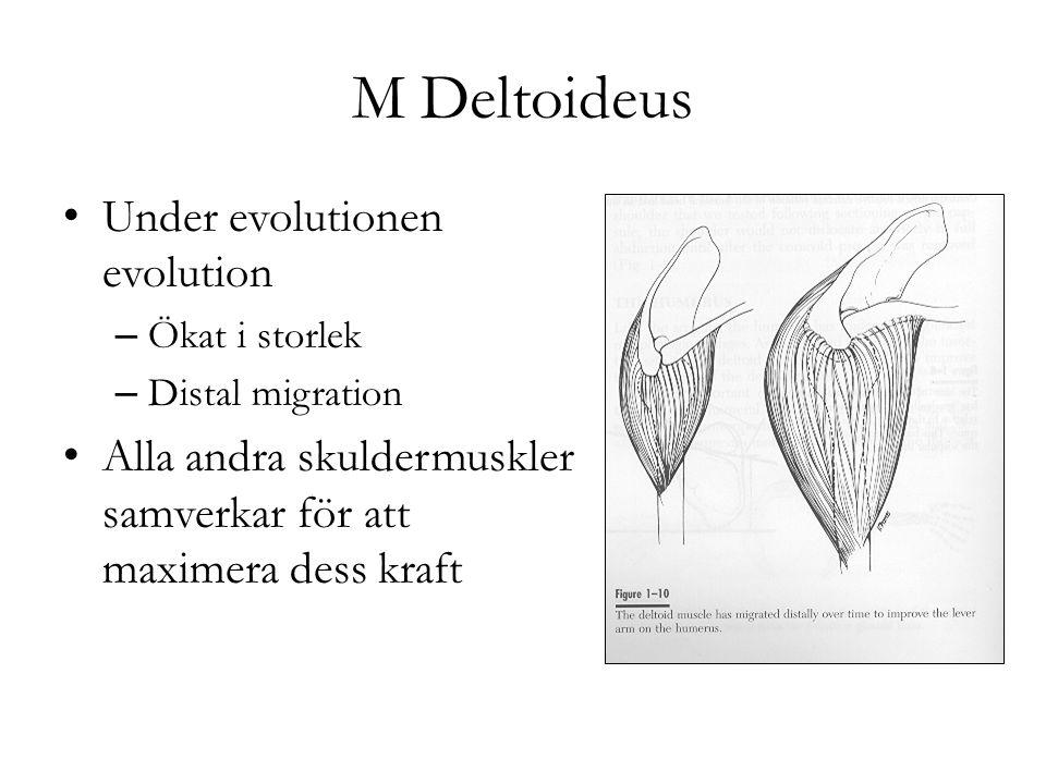 M Deltoideus Under evolutionen evolution – Ökat i storlek – Distal migration Alla andra skuldermuskler samverkar för att maximera dess kraft