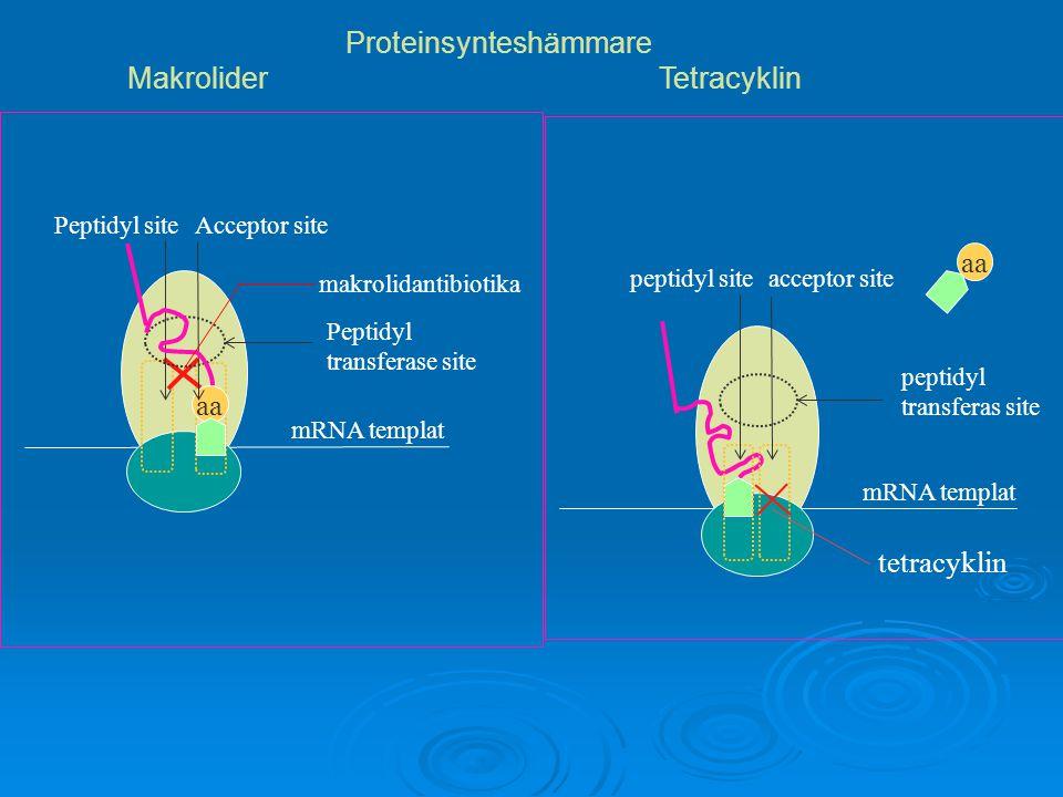 aa mRNA templat Peptidyl siteAcceptor site Peptidyl transferase site makrolidantibiotika Proteinsynteshämmare MakroliderTetracyklin aa mRNA templat pe