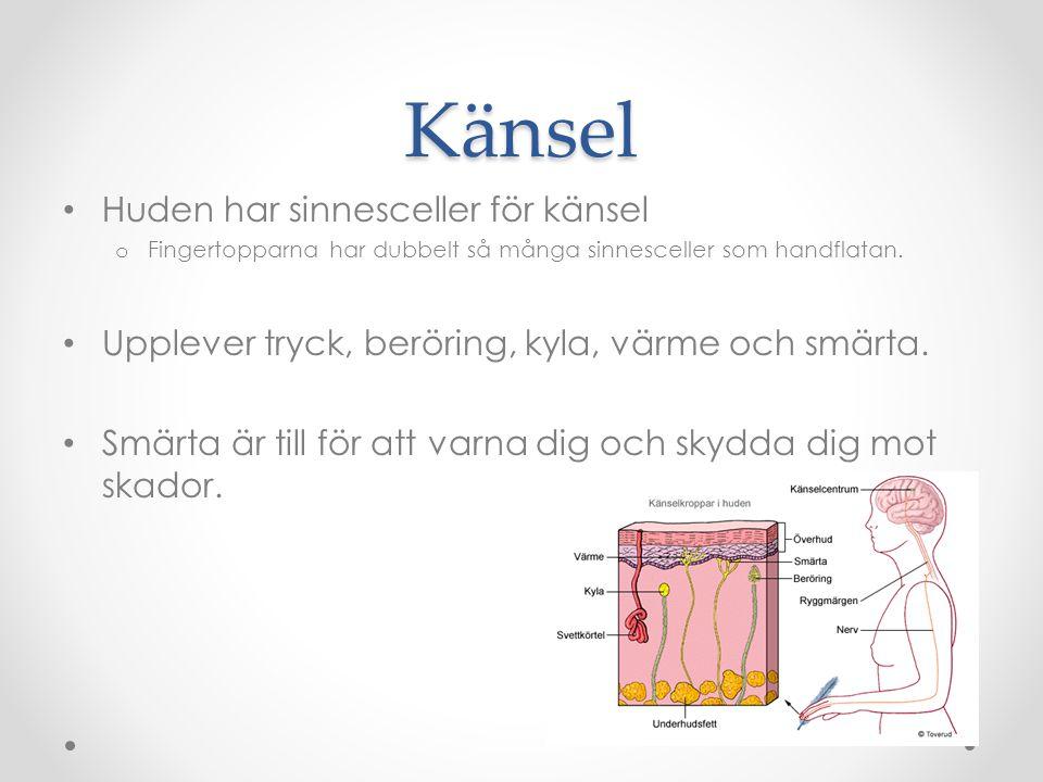 Nervsystemet 2 delar Centrala nervsystemet o Hjärna och ryggmärg o Se förenklad bild åt höger Perifera nervsystemet o Nerverna ute i kroppen o Ni behöver inte kunna ordet.
