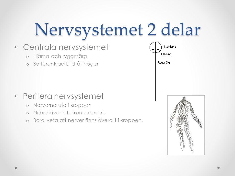 Nervsystemet gör.Tar emot nervsignaler från sinnena, bearbetar dem och skickar dem vidare.