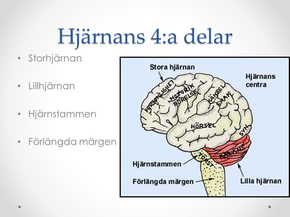 Storhjärnan Två halvor som styr varandra korsvis Här finns massor av olika uppgifter o Tal, syn, hörsel, rörelse, känsel och personligheten