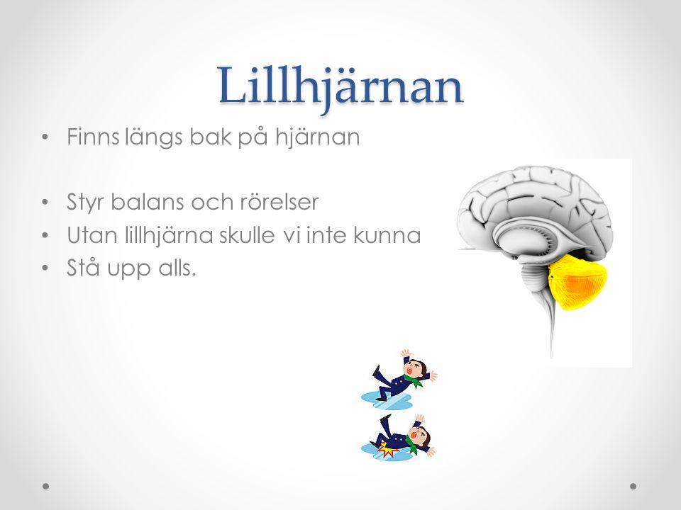 Hjärnstammen och förlängda märgen Finns längst ner på hjärnan Sköter andning, blodtryck, törst och hunger