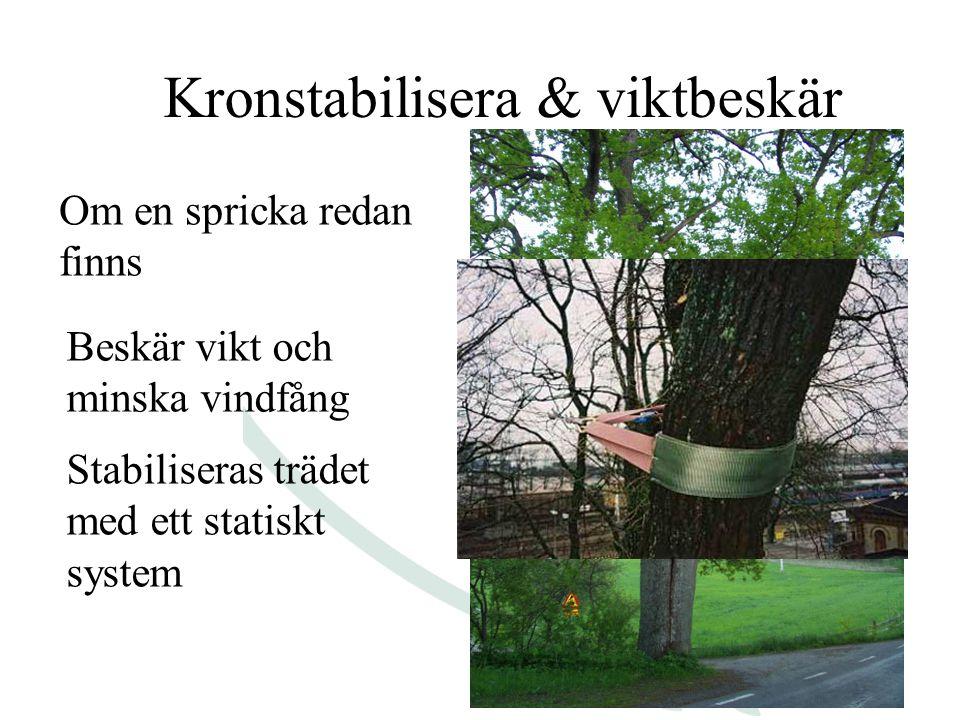 Kronstabilisera & viktbeskär Om en spricka redan finns Stabiliseras trädet med ett statiskt system Beskär vikt och minska vindfång