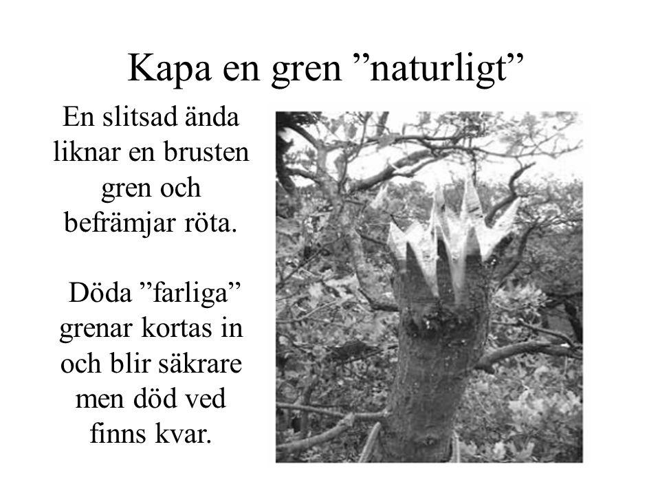 Kapa en gren naturligt En slitsad ända liknar en brusten gren och befrämjar röta.