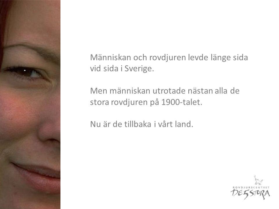 Människan och rovdjuren levde länge sida vid sida i Sverige.