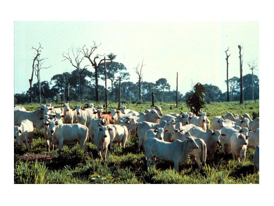 Brasilianskt nötkött Tio procent av brasilianska Amazonas var avskogat 1995 – 350 000 km 2.