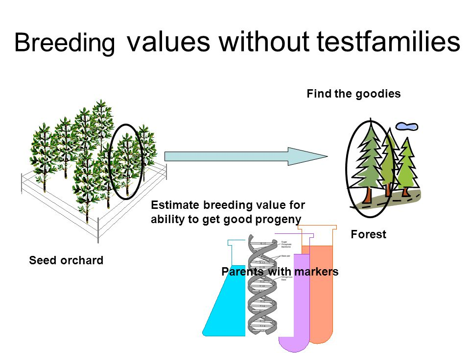 Breeding values without testfamilies Seed orchard Forest Parents with markers Find the goodies Estimate breeding value for ability to get good progeny