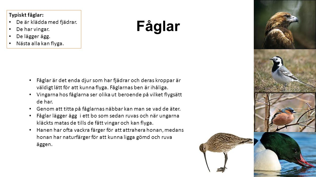 Fåglar Typiskt fåglar: De är klädda med fjädrar. De har vingar. De lägger ägg. Nästa alla kan flyga. Fåglar är det enda djur som har fjädrar och deras