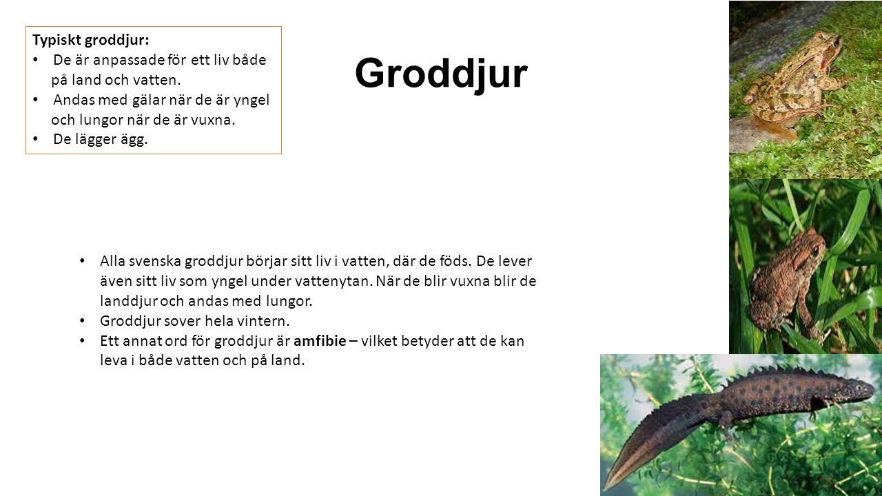 Groddjur Typiskt groddjur: De är anpassade för ett liv både på land och vatten. Andas med gälar när de är yngel och lungor när de är vuxna. De lägger