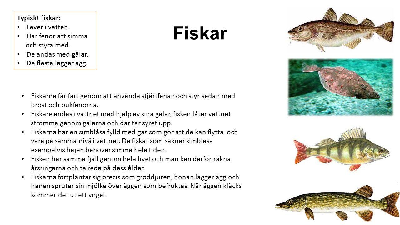 Fiskar Typiskt fiskar: Lever i vatten. Har fenor att simma och styra med. De andas med gälar. De flesta lägger ägg. Fiskarna får fart genom att använd