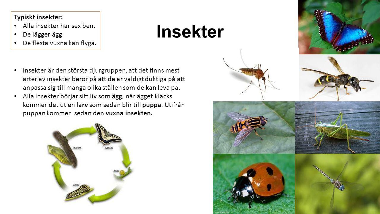 Insekter Typiskt insekter: Alla insekter har sex ben. De lägger ägg. De flesta vuxna kan flyga. Insekter är den största djurgruppen, att det finns mes