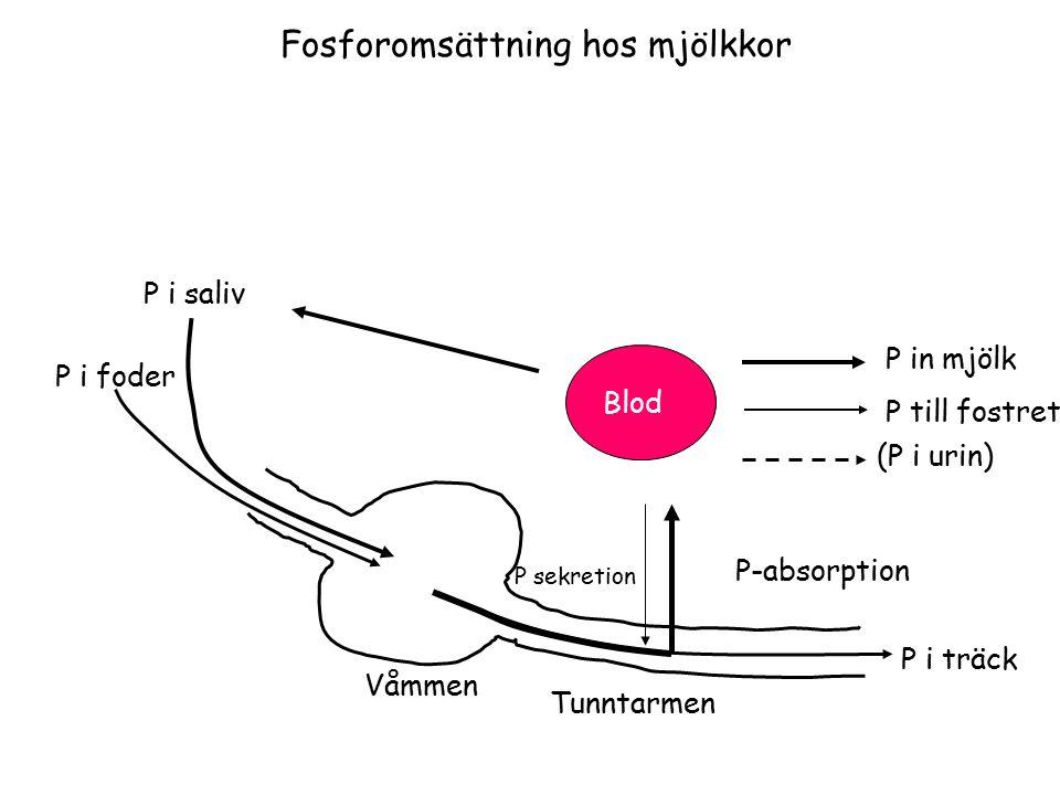 P in mjölk P till fostret (P i urin) P i träck P i foder Tunntarmen Våmmen P i saliv Blod P-absorption P sekretion Fosforomsättning hos mjölkkor