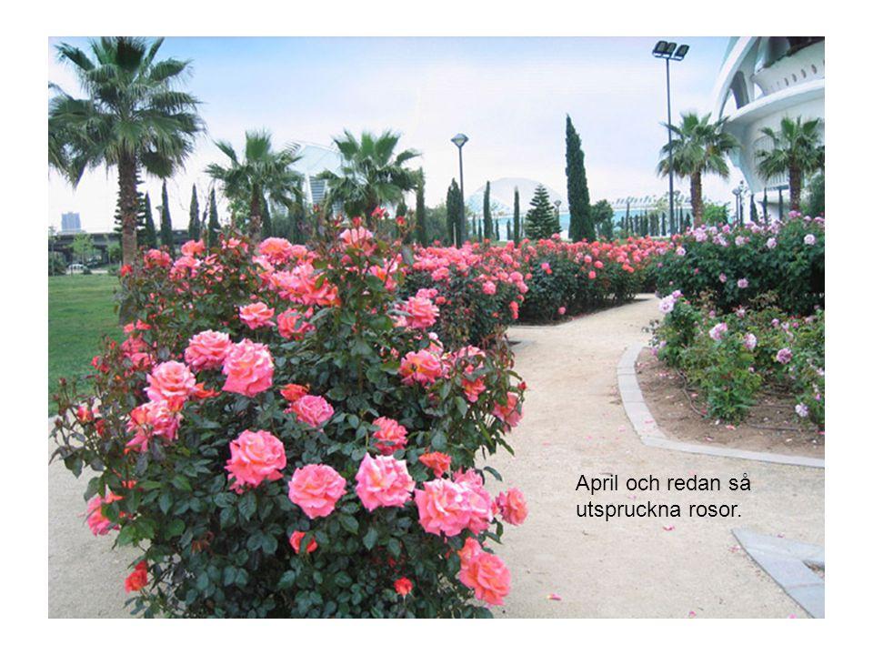 April och redan så utspruckna rosor.