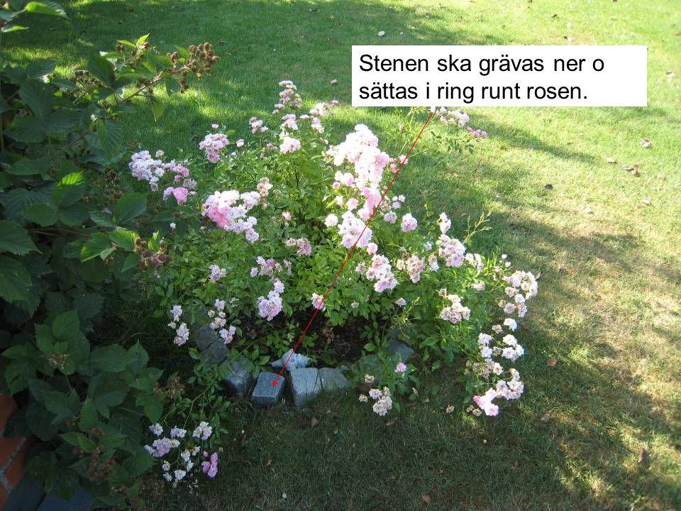 Stenen ska grävas ner o sättas i ring runt rosen.