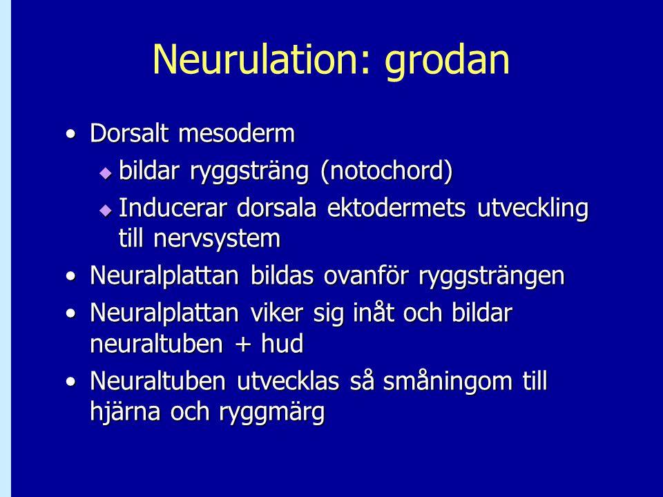 Neurulation: grodan Dorsalt mesodermDorsalt mesoderm  bildar ryggsträng (notochord)  Inducerar dorsala ektodermets utveckling till nervsystem Neural