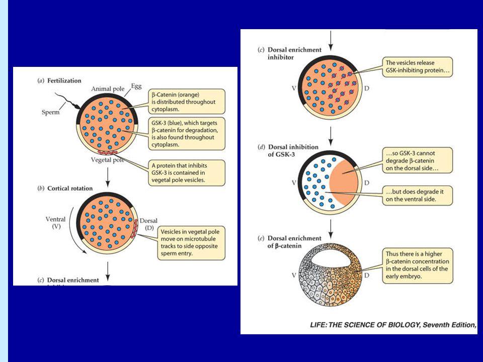 De första celldelningarna SnabbaSnabba Dotterceller får olika mängd cytoplasmakomponenterDotterceller får olika mängd cytoplasmakomponenter Embryot växer inte i storlek  mindre och mindre cellerEmbryot växer inte i storlek  mindre och mindre celler Bildas en solid cellboll, morulaBildas en solid cellboll, morula Celler som kallas trofoblaster utsöndrar vätska och det bildas en vätskefylld blåsa, blastocoelCeller som kallas trofoblaster utsöndrar vätska och det bildas en vätskefylld blåsa, blastocoel  embryot kallas då blastocyst (hos däggdjur) eller blastula