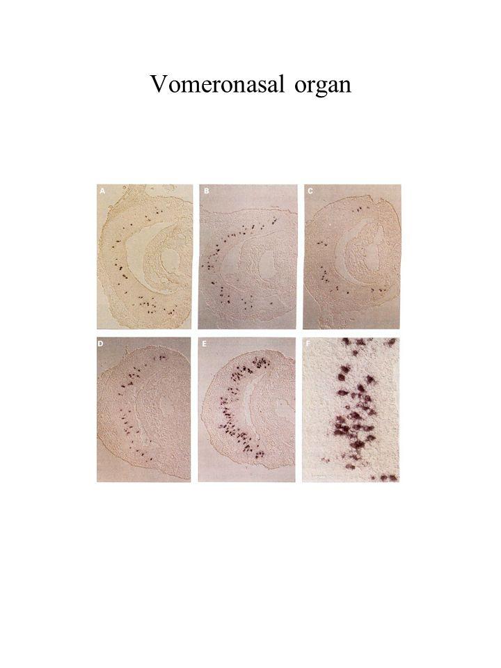 Vomeronasal organ