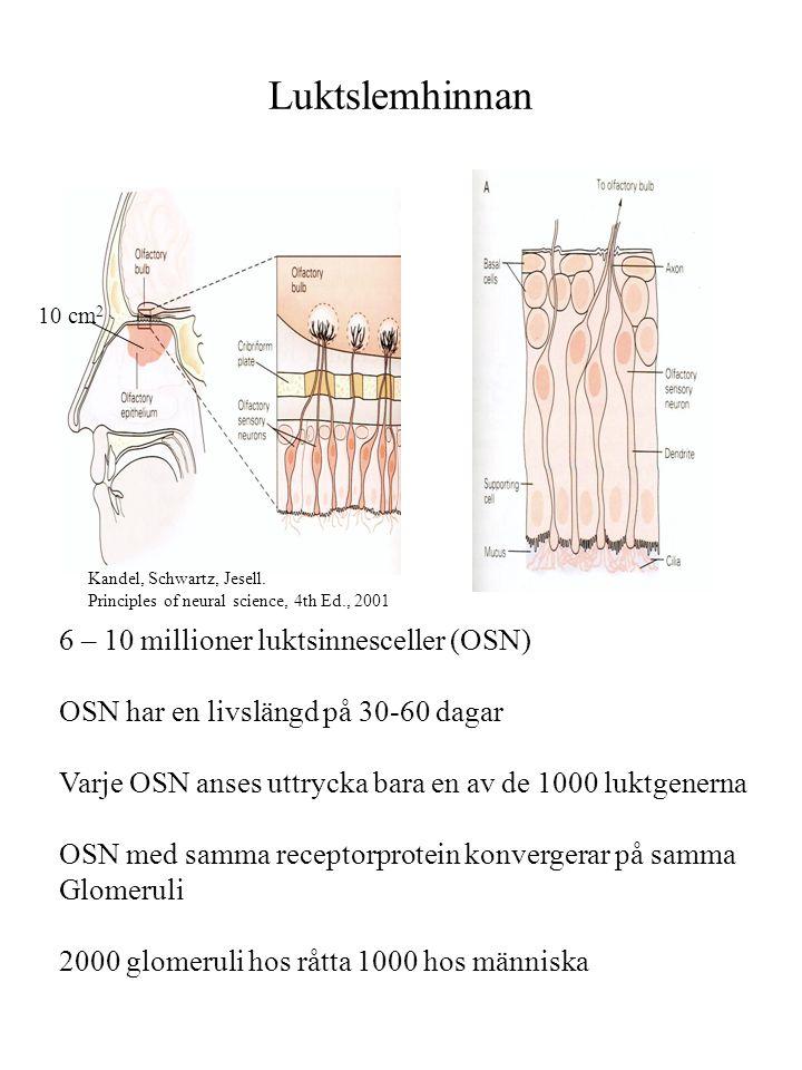 Receptorer i luktcellerna (1) Ämnen i luften genom näsa löses i slemhinnans vätskefas OSN1 OSN2 OSN3 Receptorproteinerna har samma grundstruktur Men skiljer sig åt med avseende på enstaka aminosyror (svarta prickar) En skillnad på en aminosyra kan ge olika affinitet Lindeman, Nature, 413, 211, 2001.